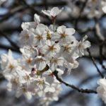 花見ができる福岡の穴場スポットを一挙公開!福岡県民の方も必見!