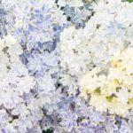 紫陽花の素敵な花言葉集!結婚式にもぜひ取り入れてみて!